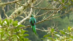 Beautiful long-tailed Quetzal Trogon type of bird turning and taking off