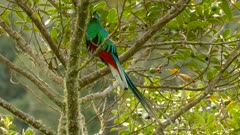 Long tail from beautiful Quetzal bird moves in moderate wind in the wild
