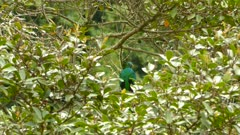 Dual shot of pretty Quetzal bird perched in a tree and looking around