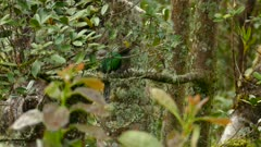 Side view of well camouflaged female Quetzal bird perched in a tree