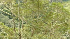 Wide view of wild avocado tree with Quetzal bird flying within it