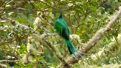 Tail feathers being blown gently by the wind off of striking Quetzal bird