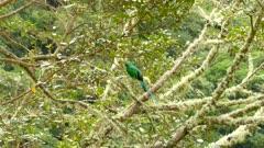 Medium shot of male Resplendent Quetzal tropical bird in a tree in the wild
