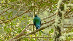 Zoom-out shot of a Quetzal bird sitting in a tree with high mountain behind