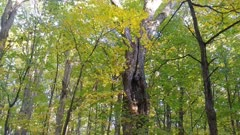 Large dead tree still standing and surrounded by beautifully colored leaves