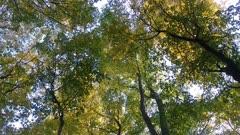Beautiful and pure forest canopy filmed at dawn showing yellow tree tops