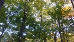 Steadicam moving slowly in forest in the fall with trees in green and yellow