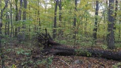 Sideway steadicam shot of large dead tree trunk in the fall in North America