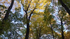 Large and high trees becoming colorful under autumn weather before winter