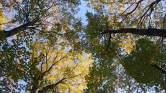Slow gliding shot of tree canopy in the fall with wind gently blowing on leaf