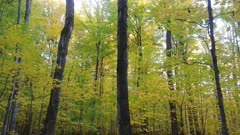 All yellow Canadian forest in the fall with large mature deciduous trees