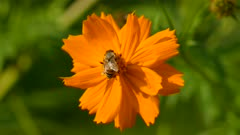 Bright orange vivid flower with large bee feeding from its center before flying away