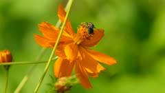Large bee crawls on vivid orange flower to gather pollen before flying off