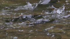Large salmon exceeding height of shallow waters and exposing fish dorsal