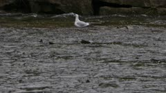 Salmon dorsal protruding out of shallow river water with seagull bird in background