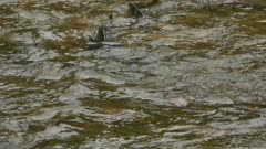 Two salmon wriggling in the shallow waters of a river with moderate current