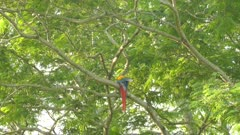 Single Scarlet Macaw parrot seen from underneath while grooming