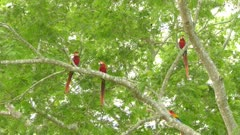 Wild scene of Scarlet Macaws in a tree with two flying in foreground