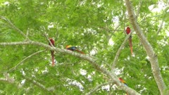Group of 4 Macaw parrots with half of them flying away and two remain