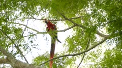 Solo Scarlet Macaw biting and munching on small branch he holds with claw