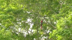 Large Scarlet Macaw parrot taking off to fly away from a mature tree