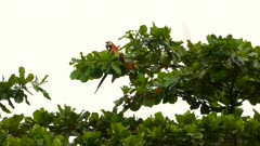 Beautiful Scarlet Macaw eating a fruit while perched atop broadleaf tree