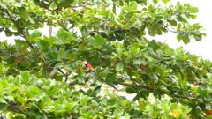 Short, medium and wide views of Scarlet Macaw parrot birds in Costa Rica