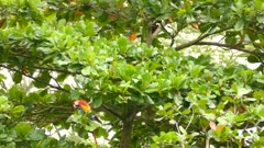 Beautiful parrot birds walking and feeding in low level tree in the wild