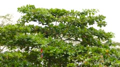 Wide view of lush broadleaf tree with Scarlet Macaw parrots feeding in it