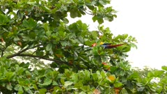 Extended one minute sequence of Scarlet Macaw feeding and foraging