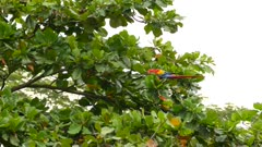 Colorful parrot takes off and flies away in a downward motion in the wild