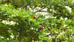Flamboyant Macaw parrots foraging and eating green fruits in a wild tree