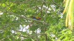 Dual shot of Scarlet Macaw moving in a tree before flying away