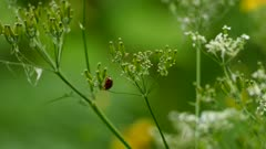 One minute extended sequence of ladybug crawling up and down a plant