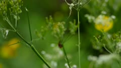 Camera tracking shot of red colored ladybug moving on small flowery plant
