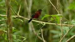 Crimson backed tanager rests on small horizontal twig in pure rainforest