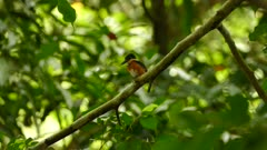 American pygmy kingfisher observing while perched on branch in Panama