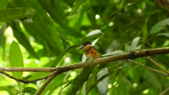 Small american pygmy kingfisher takes off from a branch in the wild