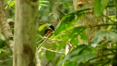 Kingfisher in Panama rests on a branch seen through blurry leaves