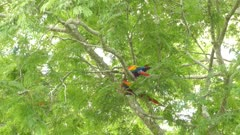 Medium shot of a few Scarlet Macaw birds slightly moving up in a tree