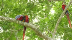 Close view of 3 pretty Scarlet Macaws preening while a 4th one joins