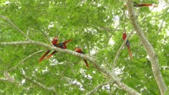 Impressive sequence of wild Scarlet Macaw parrots moving in a tree