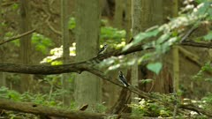 Stunning display of weird behavior between two woodpeckers in forest