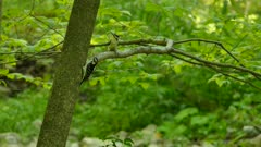 Strange interaction between two downy or hairy woodpeckers in forest