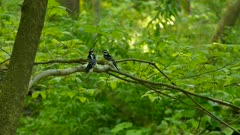 Two hairy woodpeckers imitating each other while one follows the other