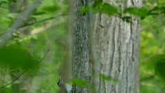 Tracking following motion sequence of two hairy woodpeckers in forest