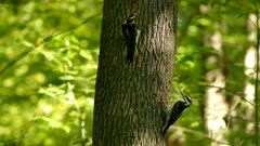 Closeup and wide shot of pair of woodpeckers in lush sunny forest