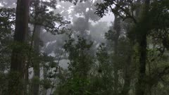 Large mature trees of the cloudforest jungle of Costa Rica on steadicam