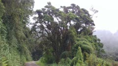 Large mature tree covered in dense moss grows on road side in Costa Rica