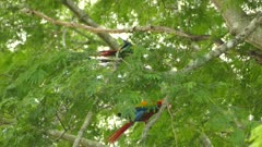 Beautifully colored Macaw parrots in red blue and yellow moving in a tree